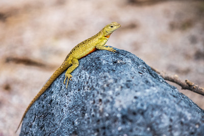 yellow lava lizard on rock