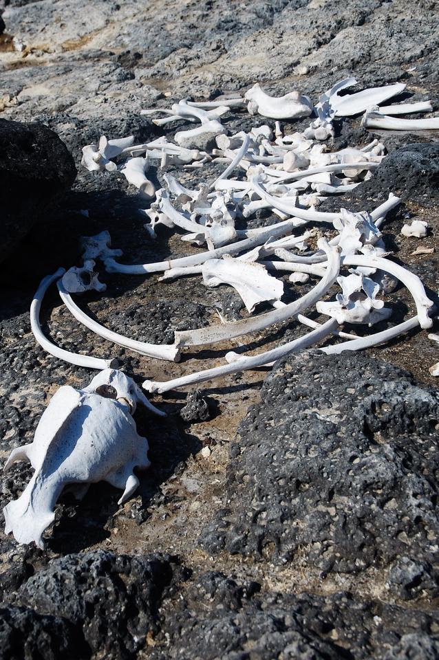 Sea Lion Remains (Isla Plaza)