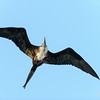 Frigate birds above our ship