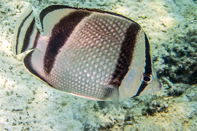 banded butterflyfish 2