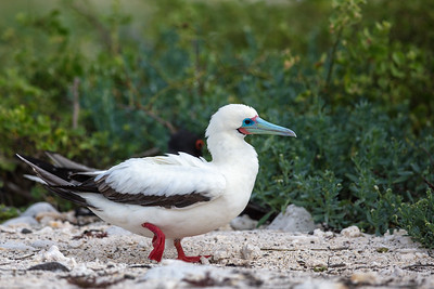 red-fotted booby walking