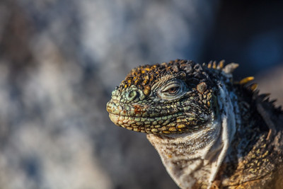 closeup profile marine iguana