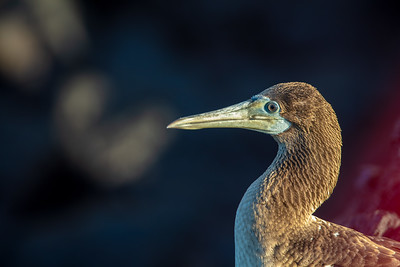 profile of a juvenile booby