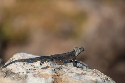 lava lizard on white rock