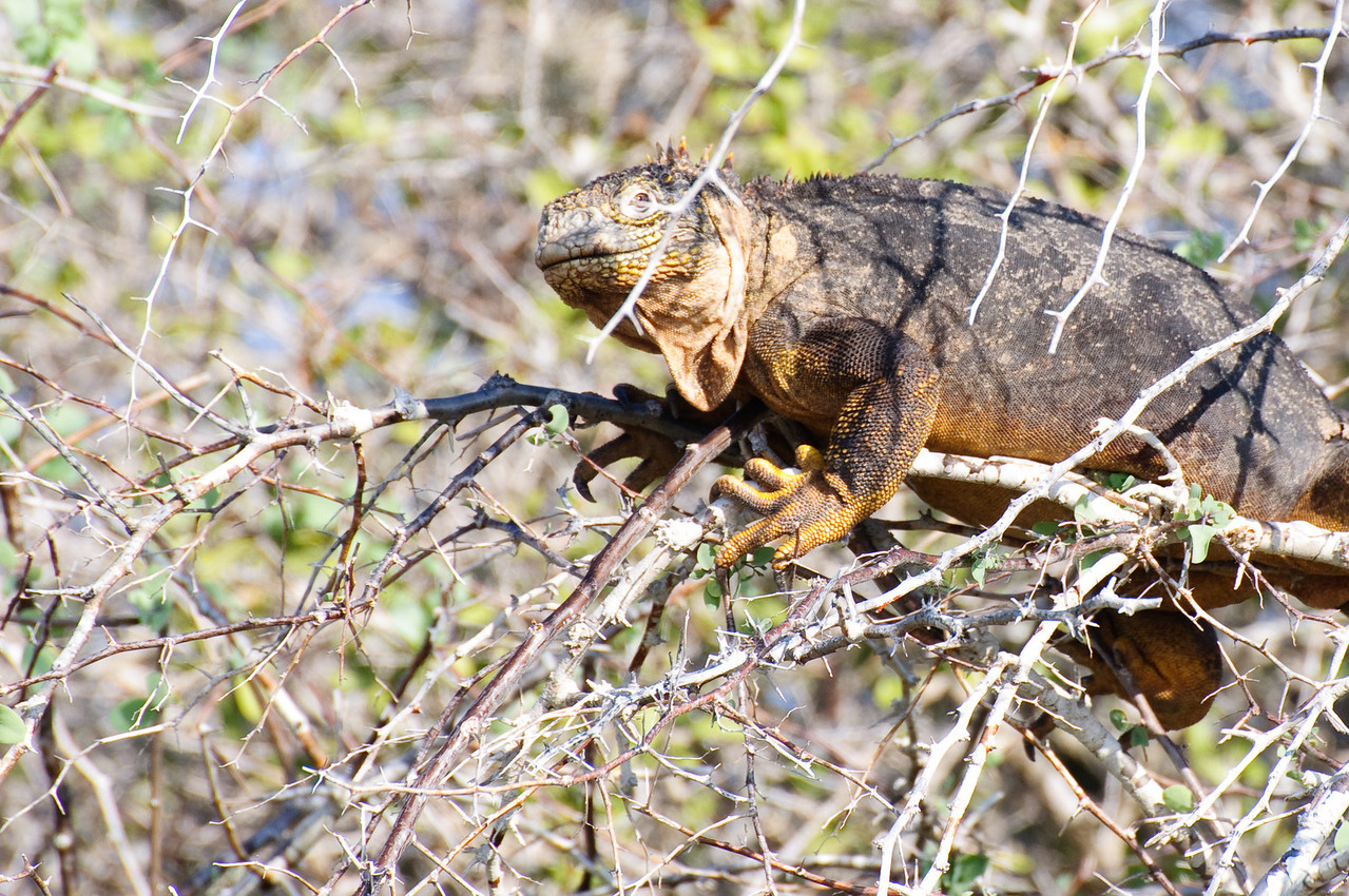 Land Iguana (Isla Plaza )