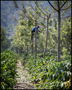 Finca Filadelfia - trees providing shade for the coffee bushes are regularly maintained