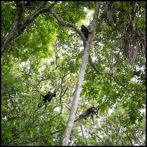 Howler monkeys, Tikal