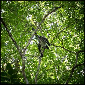 Spider monkey, Tikal