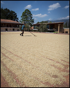 Drying coffee beans still with their parchment