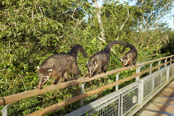 Coatis, or hog-nosed coon, are often seen at visitor centres at Iguazu trying to steal food. These three are following a well used walkway to the Devil's Throat.