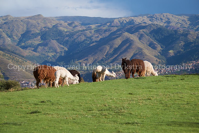 Llamas are everywhere in Peru, and it's hard to imagine a more beautiful backdrop.