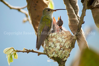 Peruvian Hummingbird