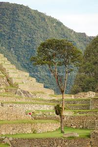 Machu Picchu Tree