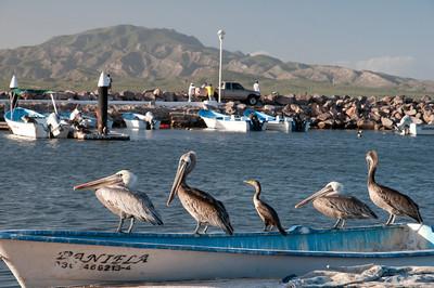 Loreto Pelicans
