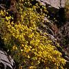 Pa 5752 Calceolaria tenella