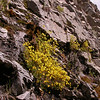 Pa 5751 Calceolaria tenella