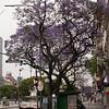 Ar 0010 Buenos Aires met Jacaranda mimosifolia