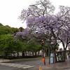 Ar 0005 Buenos Aires met Jacaranda mimosifolia