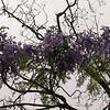 Ar 0012 Jacaranda mimosifolia