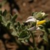 Ar 2075 Solanum nitidibaccatum
