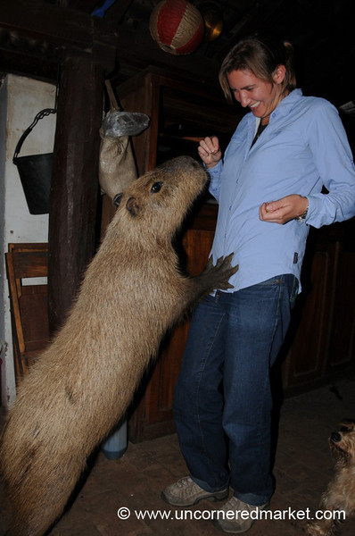 Feeding the Capybara - Concepcion, Paraguay