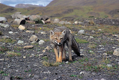 Patagonian fox. Torres del Paine National Park, Patagonia, Chile