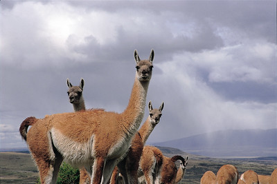 Curious guanacos. Torres del Paine National Park, Patagonia, Chile