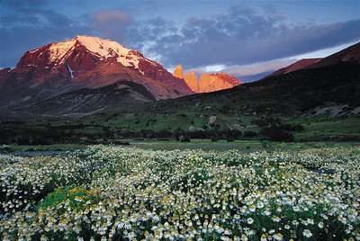 A display of wildflowers at sunrise near Hosteria las Torres. Torres del Paine National Park, Patagonia, Chile
