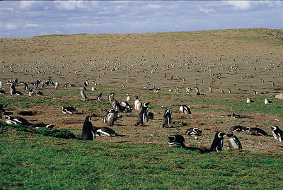 Magellanic penguin colony, Isla Magdalena Natural Monument.