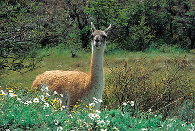 Guanaco. Torres del Paine National Park, Patagonia, Chile