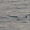 Penguins swimming near our boat as we headed towards Magdalena Island. Chile