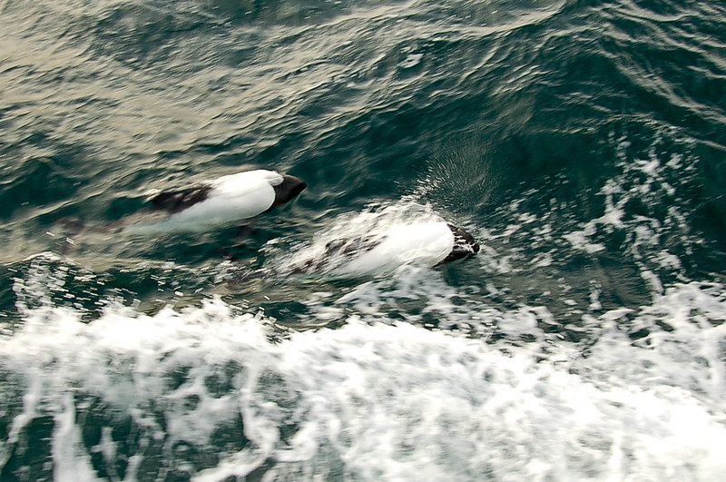 Dolphins following our boat on the way toward Magdalena Island. Straits of Magellan, Chile