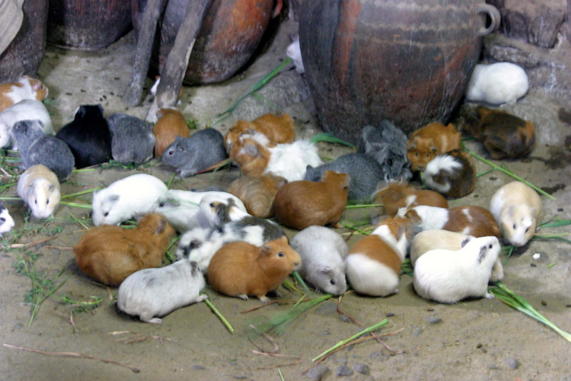<center>Guinea Pigs - Their Main Diet    <br><br>Ollantaytambo, Peru</center>