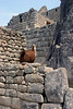 <center>He has the run of the place    <br><br>Machu Picchu, Peru</center>