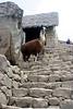 <center>Alpaca in the Ruins    <br><br>Machu Picchu, Peru</center>