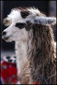 Llama, Cuzco