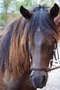 Horses, Peruvian Horse Ranch,