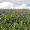 En Route to Chinchero<br /> Purple lupine fields stretch as far as the eye can see.