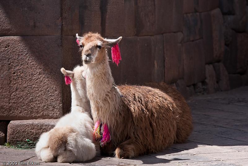 Plaza de las Nazarenas<br /> A llama and her baby at the entrance to Siete Culebras.