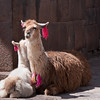 Plaza de las Nazarenas<br /> A llama and her baby at the entrance to Siete Culebras.