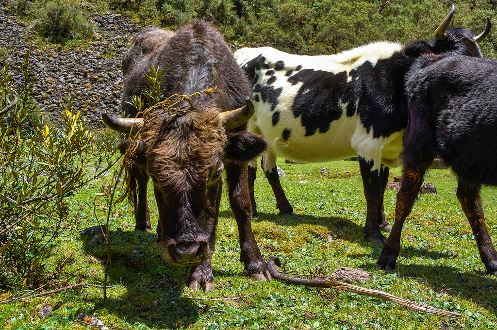 Cows at the Santa Cruz trek in Peru