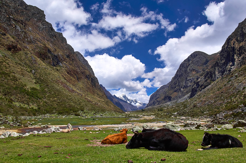 Cows chilling out at Huascarán National Park in Peru