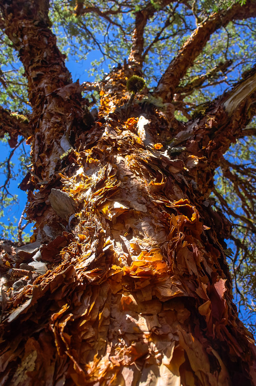 Queñua tree in Huascarán National Park, Peru