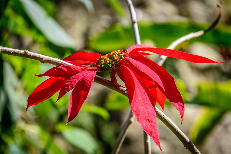 Poinsettia in Rainforest