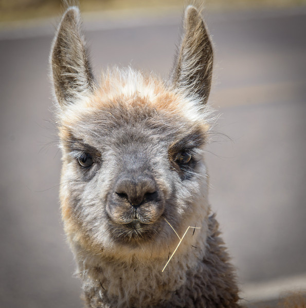 Baby Llama - Near Puno Peru