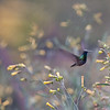 Sacred Valley - En Route to Pisac<br /> Hummingbird gathering nectar.