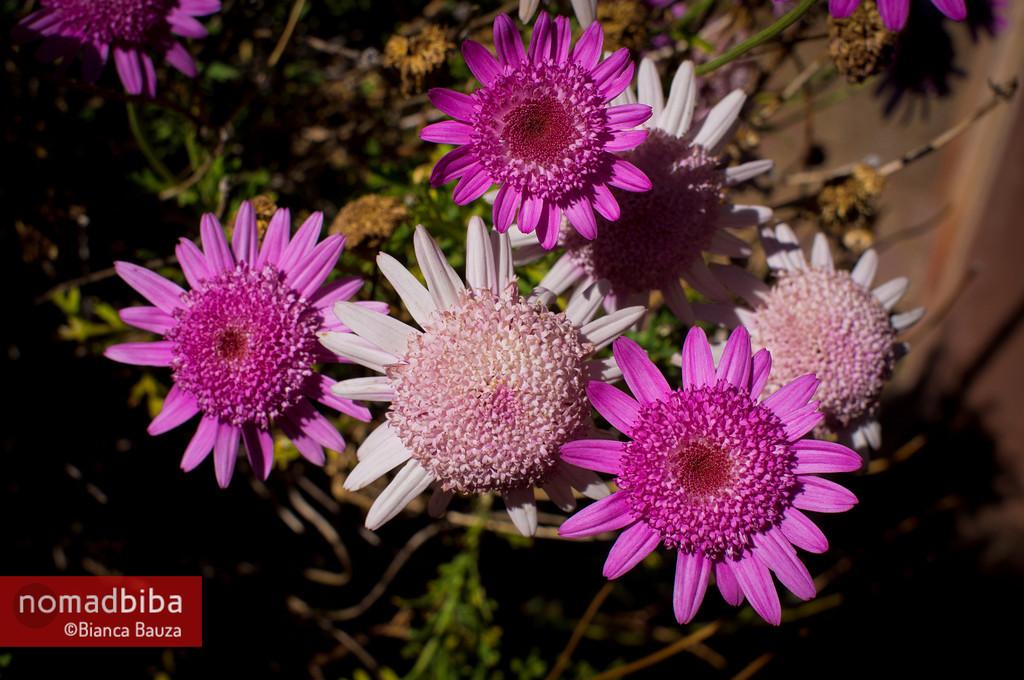 Pink Flowers in Capachica, Peru