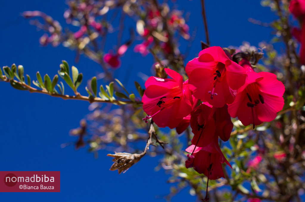 Red flowers in Capachica, Peru