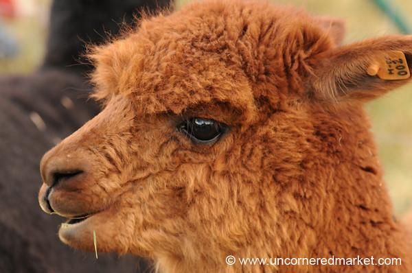 Fuzzy Chocolate Alpaca - Huancavelica, Peru