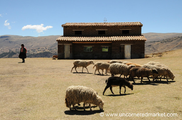 Sheep are Off to the Fields - Ucchus, Peru